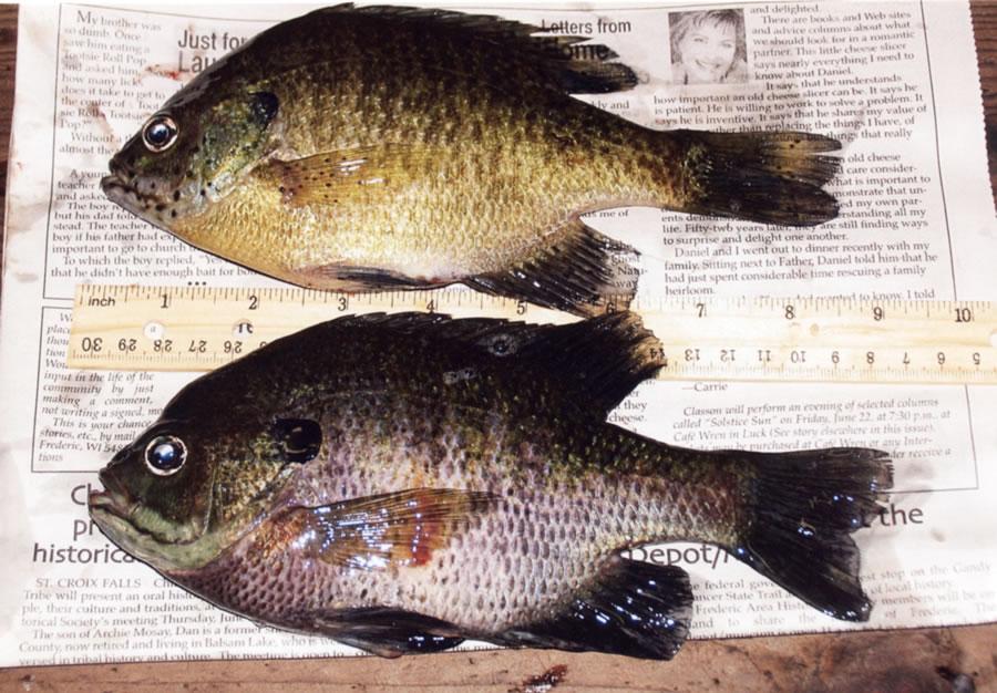 Lucky-Strike-fish